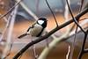 2017 Japanese Tit #1 (Yorkey&Rin) Tags: 1月 2017 bird cloudy em5 inmygarden january japan japanesetit kanagawa olympus olympusm75300mmf4867ii rin t1093806 winter シジュウカラ 庭 冬 曇り 野鳥