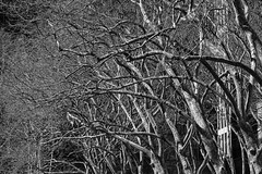 London Plane Trees (justingreen19) Tags: 42ndstreet 6thavenue citypark londonplanetrees ny nyc nycprints newyork newyorkcity newyorkprints newyorkpark platanusacerifolia spring abstract arch arching branches bryantpark city citynature fineartprints justingreen19 landmark linedup manhattan mono newyorkpubliclibrary officeprints park printsforoffice rowoftrees trees urban urbanabstract urbanpark urbannature