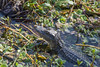 Gator 3 (ShaemonRobinson) Tags: park sugarland texas alligator gator lily pad grass water lillies croc basking