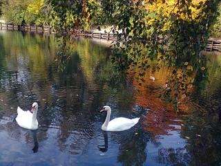Swans at Sokolniki park (05/07/2016 16:50 Moscow)