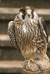 Peregrine (SteveInLeighton's Photos) Tags: transparency england gloucestershire agfachrome newent 1981 may falconry falcon peregrine