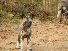 Gorgeous. (Sharon B Mott) Tags: painteddog painteddogpup pup babyanimal animal nature yorkshirewildlifepark africanwilddogs