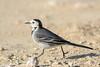 De paseo (sergio estevez) Tags: aves pajaros bokeh color fauna kenko14x luz lavandera lajanda naturaleza nikonafs300mmf4 sergioestevez