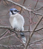 Blue Jay (fotogaffer1) Tags: em1ii birds 300mmf4