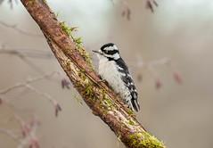 Downy woodpecker (bakosmike) Tags: downy woodpecker whitbyont nikon d300 dx sigma 150600mm