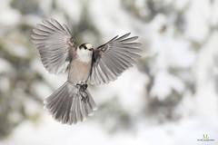 Mésangeai du Canada - Gray jay - Perisoreus canadensis (Maxime Legare-Vezina) Tags: bird oiseau nature wild wildlife animal fauna ornithology biodiversity canon winter snow neige hiver quebec canada