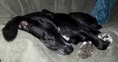 1.52.2017 Snoozy (kmmorgan1977) Tags: 52weeksfordogs 52wfd 52wfd2017 kkzsapachevegasrose greatdane dogs bigdog oregon portland snowday 2017