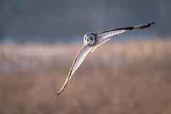 Short Eared Owl hunting (Vic Zigmont) Tags: cumberlandfarms shortearedowls