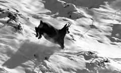 Camosci10 (Lunghefocali.snc) Tags: camoscio rupicaprarupicapra dolomiti valdifiemme trentino altamontagna wildlife nature blackwhitephotos biancoenero