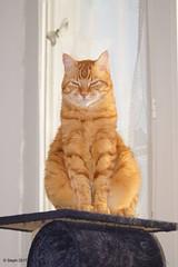 Orangina ?? (.Steph) Tags: chat cat orangina animal
