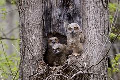 Great Horned Owl babies (jkrieger84) Tags: nikon d600 landscape nature tree leaves great horned owl babies birds