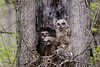 Great Horned Owl babies (jkrieger84) Tags: nikon d600 landscape nature tree leaves great horned owl babies birds