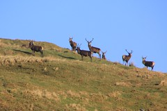 Stags on the Hills, Highlands, Scotland.
