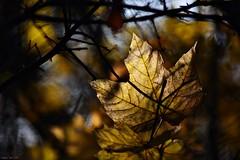 Autumn Leaf (nagyistvan8) Tags: nagyistván túrkeve magyarország magyar hungary nagyistvan8 természet nature háttérkép background colors sárga barna kék szürke zöld green grey blue brown yellow fekete black ősz autumn növény plant ngc fény light blur bokeh bokehlicious árnyék shadow 2016 nikon