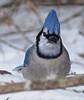 Blue Jay (ebeckes) Tags: bluejay corvid jay bird