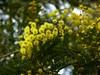 Eccola di nuovo (Serie) (fotomie2009) Tags: acacia dealbata mimosa flower fiore flora infiorescenza inflorescence yellow winter sightandsound riviera ligure ponente