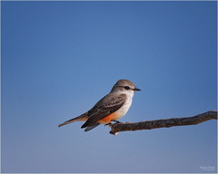 of southern birds and sunshine (marneejill) Tags: orange belly small mexico sunny day perched bandaras bay