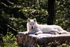 Wolf on a rock (Cloudtail the Snow Leopard) Tags: polarwolf wildpark parc animalier sainte croix tier animal mammal säugetier wolf weiswolf canis lupus arctos polar arctic