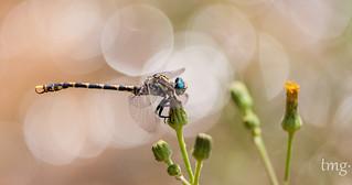 Large pincertail (macho/male)