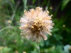 Dente de Leão (Guilherme Alex) Tags: blow ball blowball nature flowers grass garden
