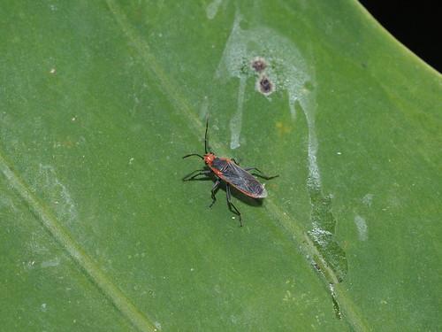 Caenocoris dimidiatus