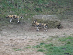 Cute puppies (LadyRaptor) Tags: yorkshirewildlifepark yorkshire wildlife park doncaster ywp nature outdoors animal animals cute canidae canine canines den rocks african wild hunting painted dog dogs pups puppies litter pack play playing fighting chase chasing lycaon pictus