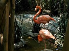 Phoenicopterus ruber (carlos mancilla) Tags: phoenicopterusruber flamencodelcaribe flamingo olympussp570uz aves zoológicos zoos