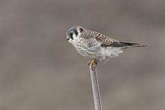 American Kestrel fem (sspike@rogers.com) Tags: kestrel falcon steverossi raptor female canon 5d4 800mm ontario green