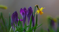Purple and gold (Steve-h) Tags: bushypark flowers nature natural flower blossoms crocuses daffodils purple gold yellow green grey bokeh depthoffield dof dublin ireland europe spring march2016 steveh