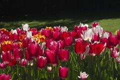 _DSC0743 (Riccardo Q.) Tags: parcosegurtàtulipani places parco altreparolechiave fiori tulipani segurtà