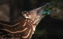Junger Tapir (ellen-ow) Tags: höheresäugetiere säugetiere tapir tierkinder unpaarhufer tier tierbaby animal ellenow nikond4
