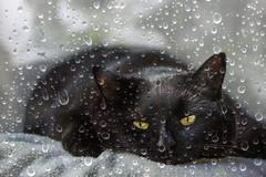 Dozing the day away (pwendeler) Tags: cat katze blackcat schwarzekatze sony rain regen dösen dozing lillie