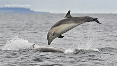 _7D21045 (Charlie S Phillips) Tags: sea marine dolphin conservation wdc charlie dolphins whale moray firth bottlenose tursiops truncatus