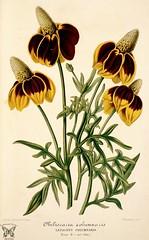 Anglų lietuvių žodynas. Žodis ratibida columnifera reiškia <li>ratibida columnifera</li> lietuviškai.