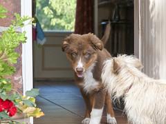 Ruby & Cyrus (franki2correze) Tags: dog chien puppy australian sheppard australien aussie chiot berger shepherds