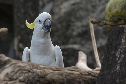 オウム / Parrot