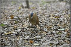 20141002___356_resize_nEO_IMG () Tags: autumn 2 test bird garden botanical tv aperture nikon october flickr g oct aves 100mm f wen taipei wesley 100 f2 mm ho dslr 103 animalia  chen xenon schneider  d800   2014   ardeidae  ciconiiformes  chordata   taipeibotanicalgarden  howen  gorsachiusmelanolophus     gorsachius melanolophus   chenhowen  wesleychen         103