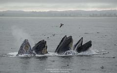 Lunge feeding humpback whales (Shane Keena) Tags: ocean nature wildlife whale humpback humpbackwhale whalewatching nationalgeographic megapteranovaeangliae naturephotography oceanlife cetacean cetacea cetaceanbehavior