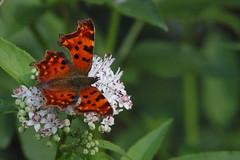 vanessa c-album (Andrea Lugli) Tags: canon butterfly eos sigma os farfalla dg hsm 60d 150500