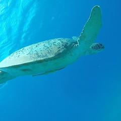 Abtauchen (nwtravelpictures) Tags: sea meer turtle redsea egypt diving gypten schildkrte gopro abtauchen