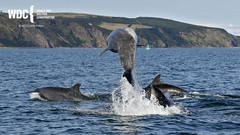 _7D21533 (Charlie S Phillips) Tags: dolphin wildlife phillips watching conservation wdc charlie moray firth bottlenose tursiops truncatus