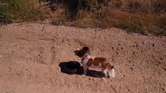 Toby on the road (Eli Nixon) Tags: toby sky usa dog pet color clouds rural landscape colorado interiors rockymountains highplains weldcounty larimercounty papilllon autumnalmost