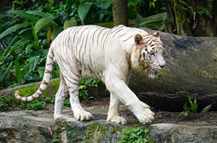 White tiger in Singapore Zoo (phuong.sg@gmail.com) Tags: park wild white nature ecology beautiful animal rock forest cat dark relax asian zoo big dangerous singapore feline asia power fierce outdoor wildlife indian tiger stripe free conservation anger safari claw jungle killer tropical beast catch environment strong rest hunter aggression predator habitat biology snout hunt captivity