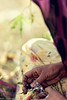 Wrapping charas (f/4) Tags: india manali cannabis himachal tosh kullu hashish pradesh charas parvati