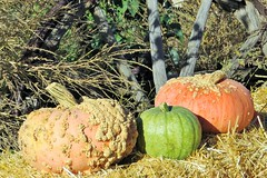 Pumpkin Trio (Patricia Henschen) Tags: canoncitycolorado colonorchard fall autumn orchard pumpkins color leafpeeping aspen colorado usroute50