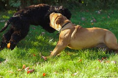 Catch me ... (Martin Werge Nissen) Tags: fall animal maximus canon50mm18 doguedebordeaux