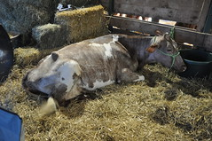 Goshen Fair 2015 (caboose_rodeo) Tags: 735 dairycattle connecticutstateagriculturalfairs