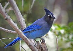 STELLER'S JAY (Wolf Creek Carl) Tags: nature birds rockies outside nationalpark colorado wildlife rockymountain rockymountainnationalpark stellarjay