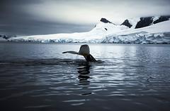Humpback Whale, near Foyn Harbor Gerlach Strait, Antarctica 2006