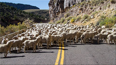 Sheep on Johns Valley road [ExploRed] (Patrick Berden) Tags: utah sheep stuck 2015 johnsvalleyroad